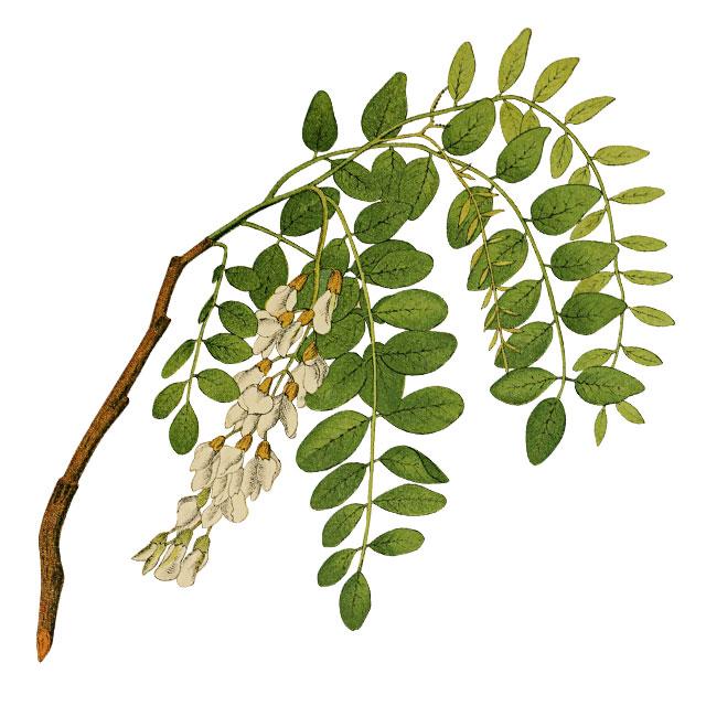 Бяла акация, Robinia pseudoacacia L.