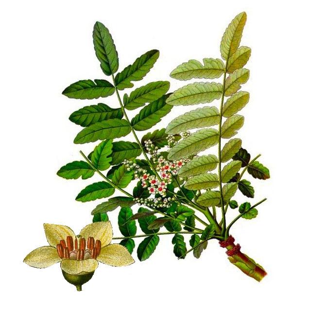 Босвелия - Boswellia serrata
