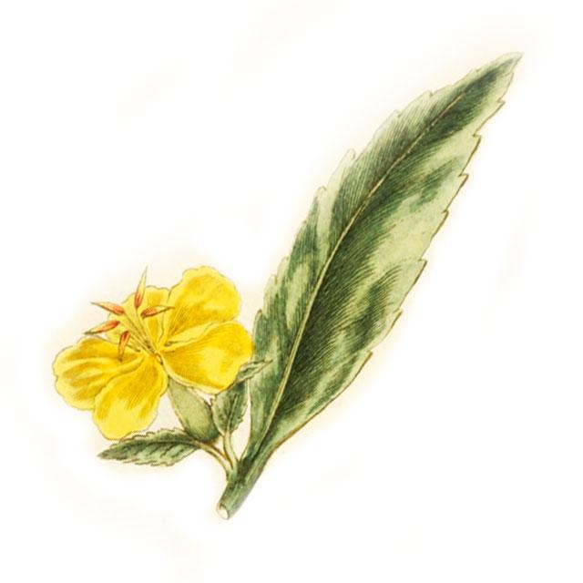 Дамиана / Дамяна Turnera diffusa var. aphrodisiaca
