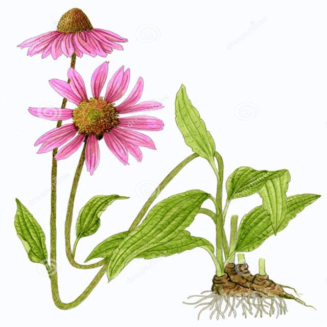 Ехинацея, Echinacea purpurea