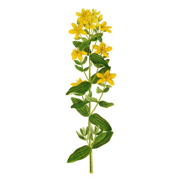 Жълт кантарион / Звъника, Hypericum perforatum