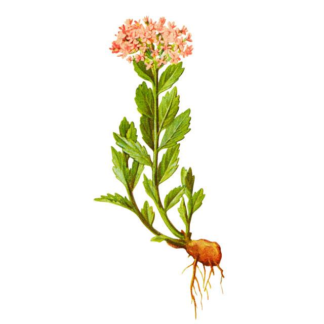 Златен корен / Родиола