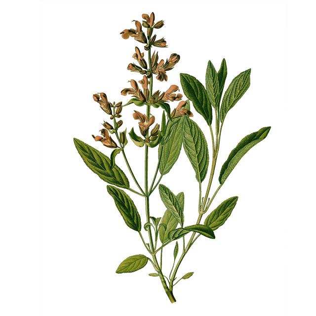 Градински чай (Салвия)