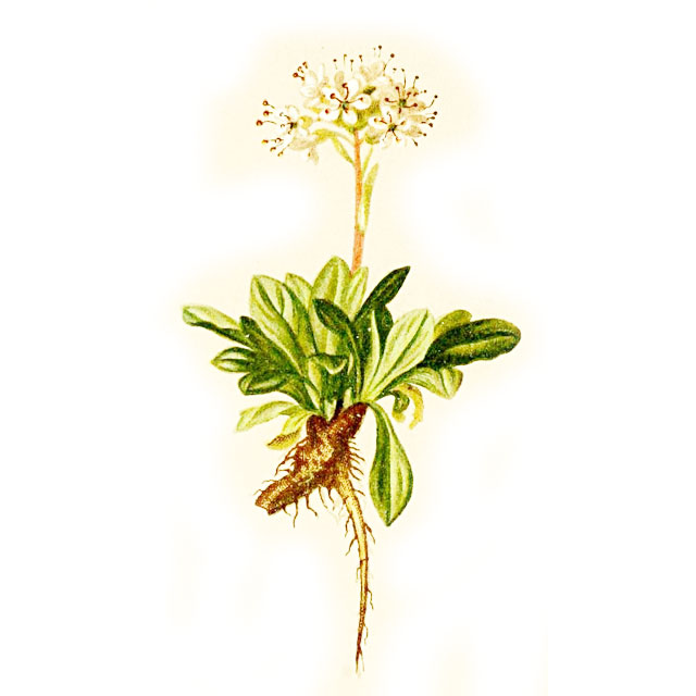 Валериана, Valeriana officinalis