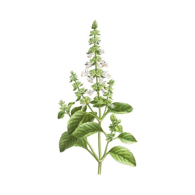 """Босилек (""""царска билка"""") - Ocimum basilicum"""