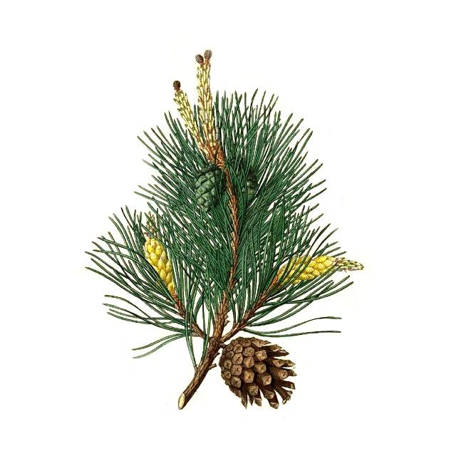 Бял бор (pinus sylvetris oil) етерично масло - снимка