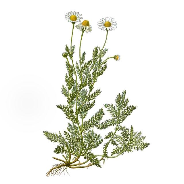 Лайка (chamomile matricaria /chamomilla recutita/ oil) етерично масло - снимка