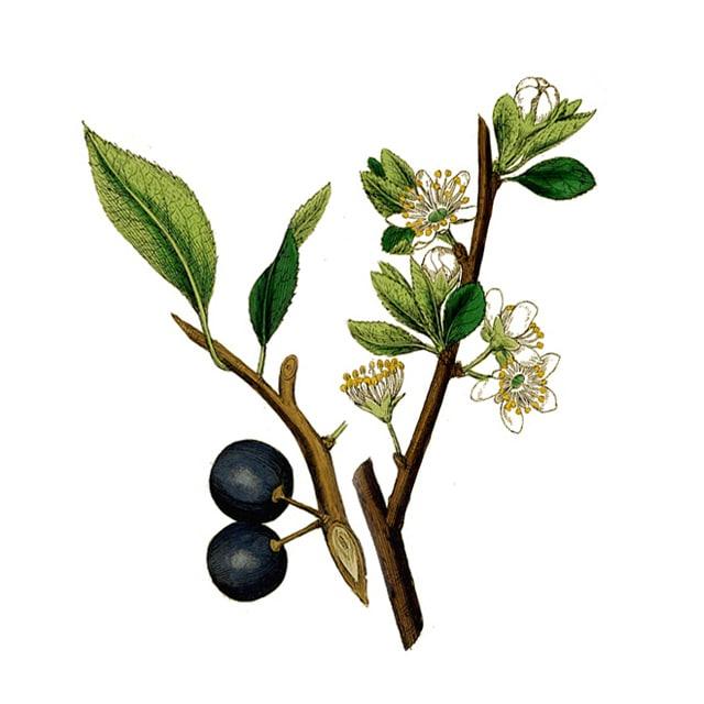 Cherry Plum /Дива Джанка/ - снимка