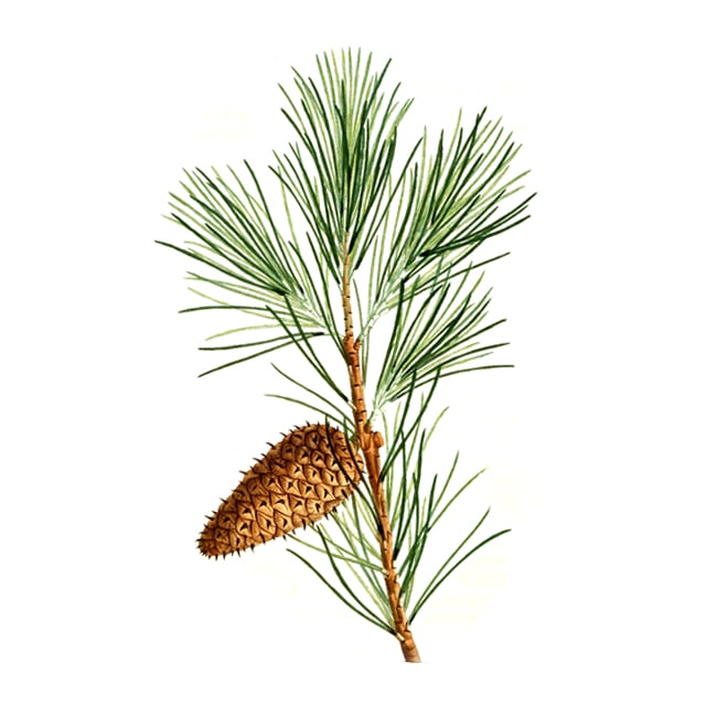 Pine /Бял бор/ - снимка