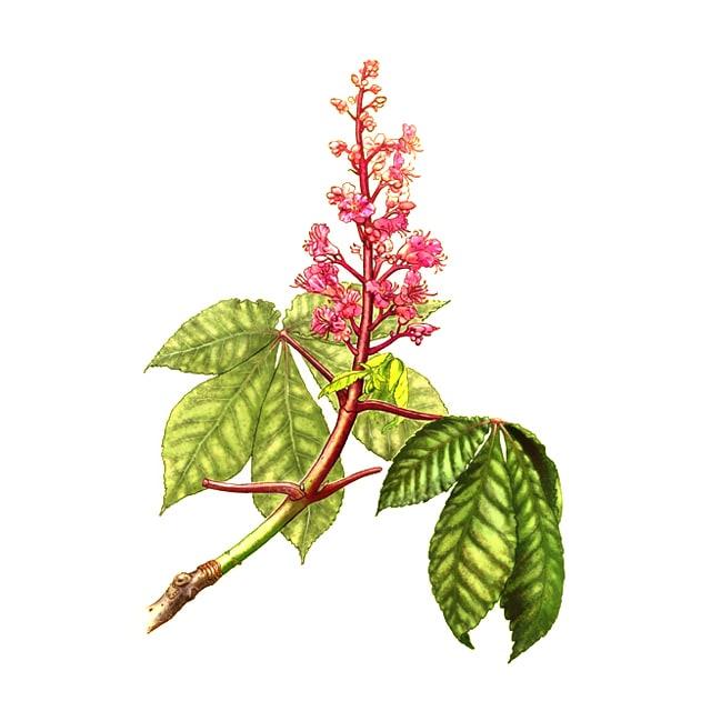 Red chestnut /Червен кестен/ - снимка