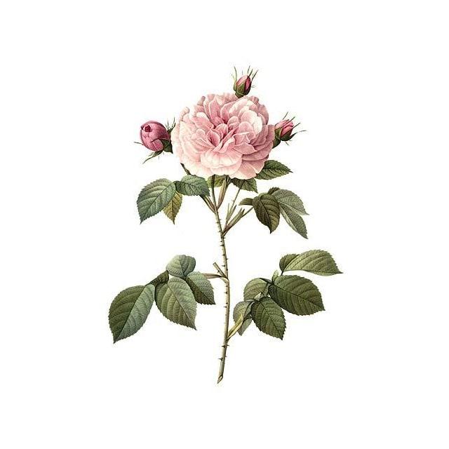Роза алба - снимка