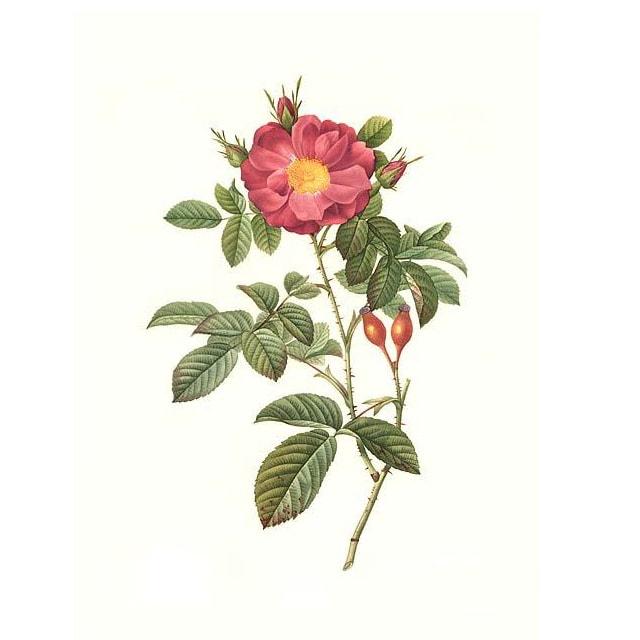 Роза Дамасцена - снимка