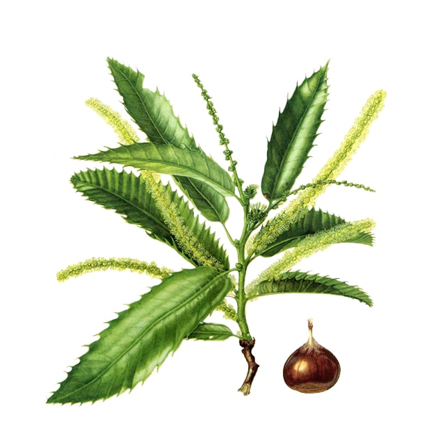 Sweet chestnut / Сладък кестен/ - снимка