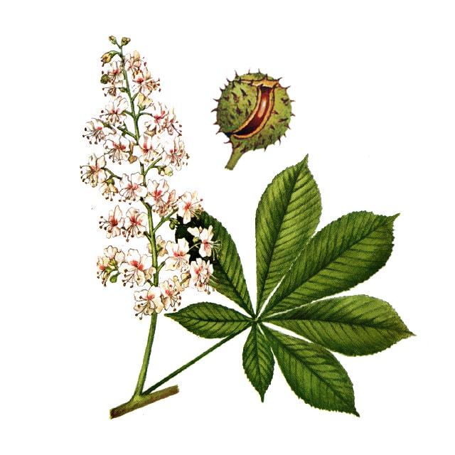 White chestnut /Конски кестен/ - снимка