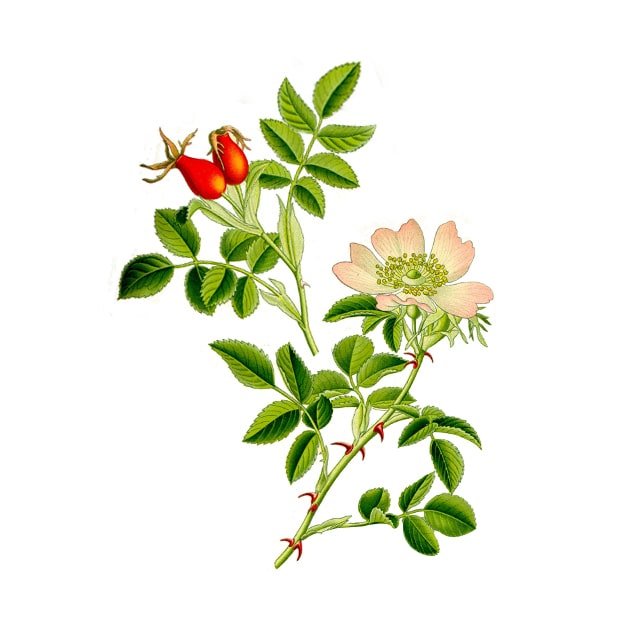 Wild Rose /Шипка/ - снимка