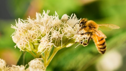 Пчела събира прашец - снимка